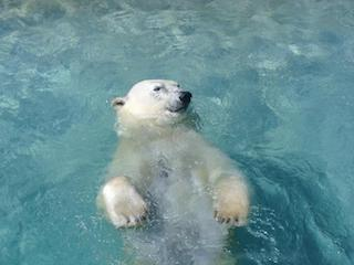 polar-bear-swimming
